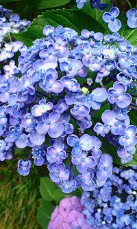 ぷくぷく紫陽花