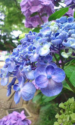 ぷくぷく紫陽花 横顔