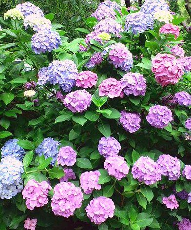 紫陽花多色