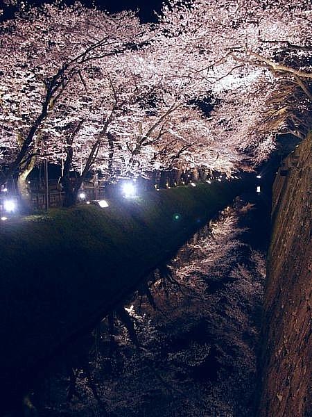 観桜期・金沢城公園 (12)