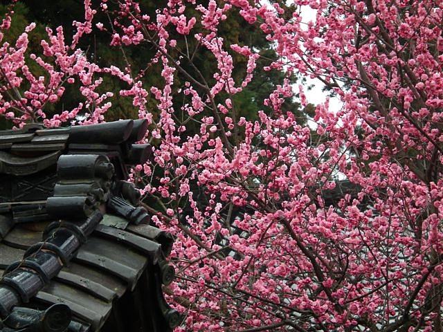 城端しだれ桜まつり (5)