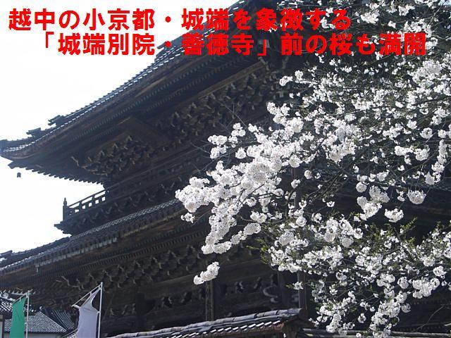 城端しだれ桜まつり (11)