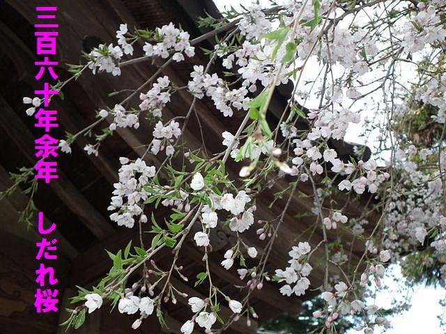 城端しだれ桜まつり (16)
