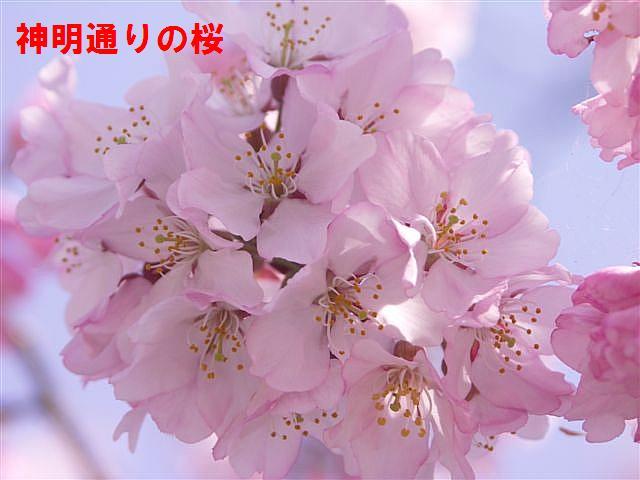 城端しだれ桜まつり (20)