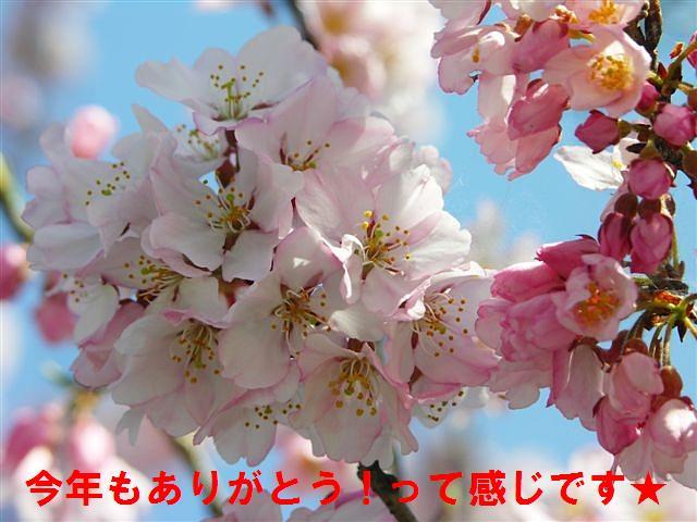 城端しだれ桜まつり (24)