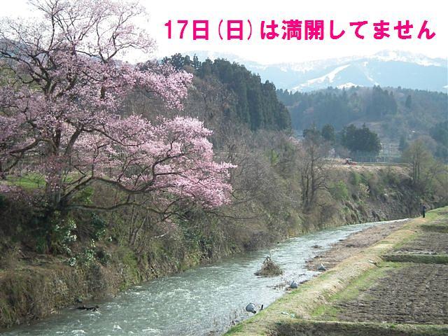 城端しだれ桜まつり (28)