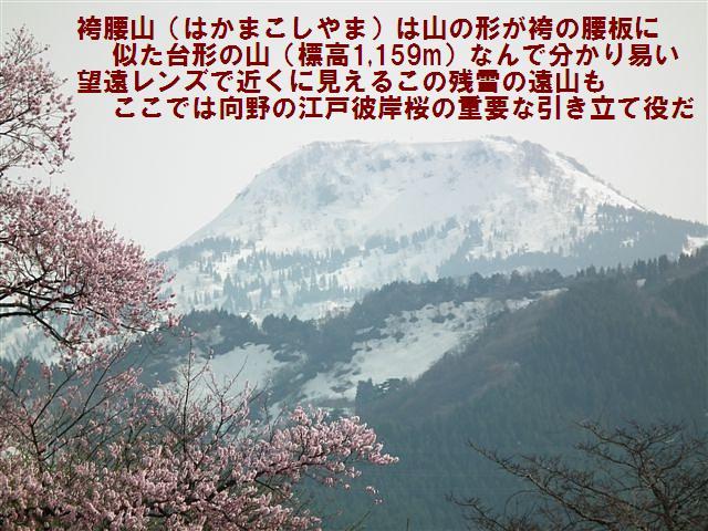 城端しだれ桜まつり (29)