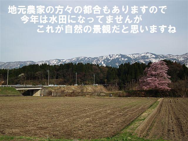 城端しだれ桜まつり (30)