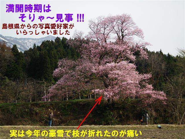城端しだれ桜まつり (31)