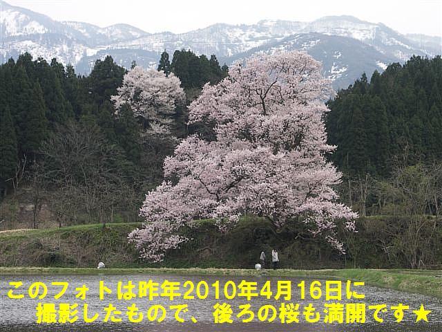 城端しだれ桜まつり (32)