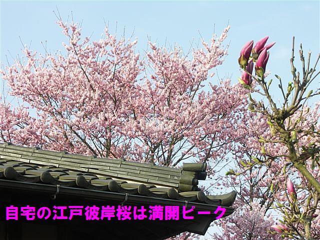 城端しだれ桜まつり (34)