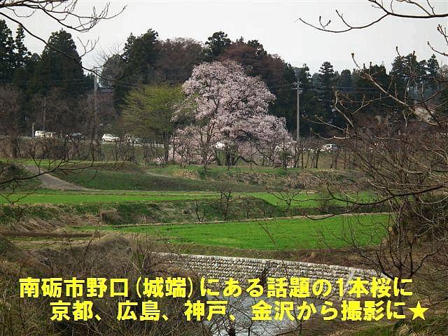 向野の江戸彼岸桜 (1)