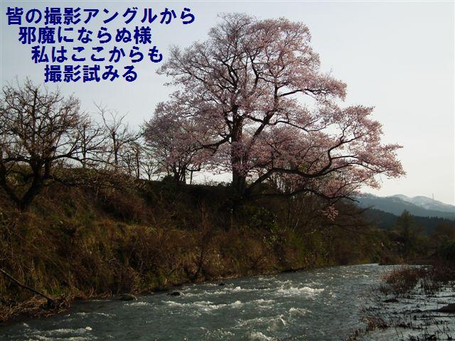 向野の江戸彼岸桜 (3)