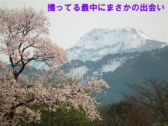 向野の江戸彼岸桜 (4)