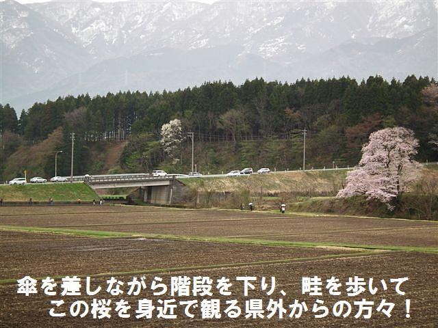 写真教室の桜 (1)