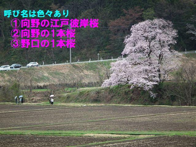 写真教室の桜 (2)