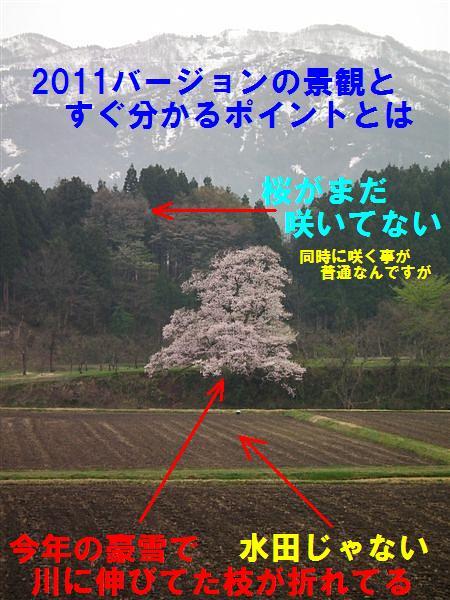 写真教室の桜 (4)