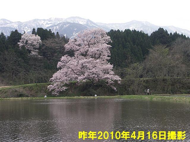 写真教室の桜 (5)