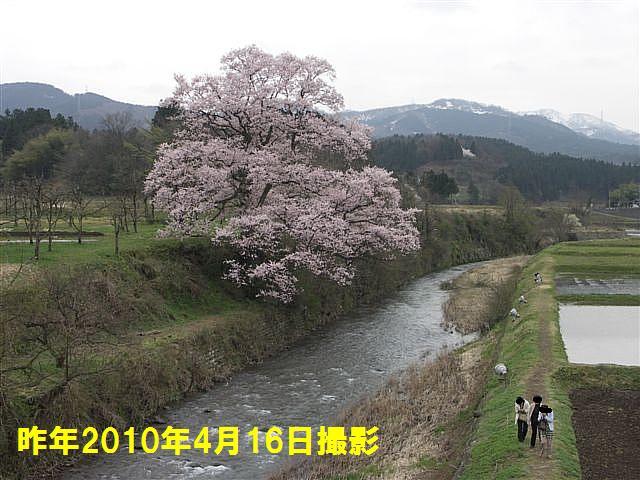 写真教室の桜 (6)