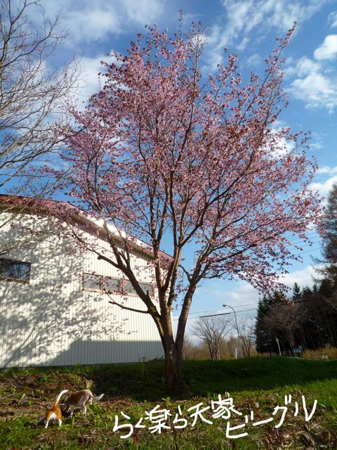 5月の桜 P1060042