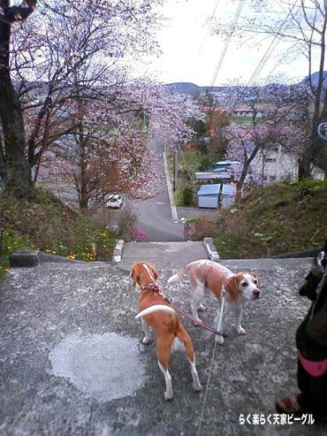 新得山 階段の桜DCF_0290