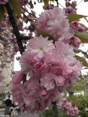 大須公園八重桜