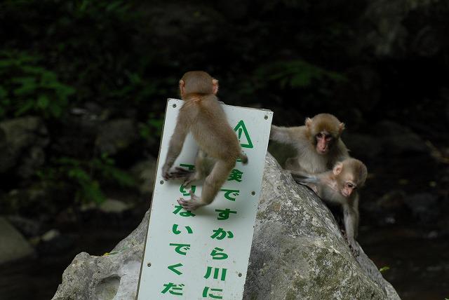神庭の滝のサル9
