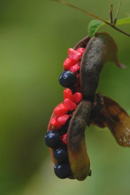 山勺薬の種