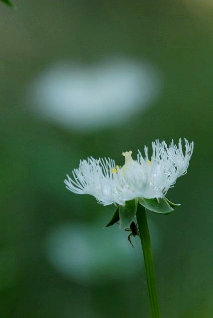 シラヒゲ草4