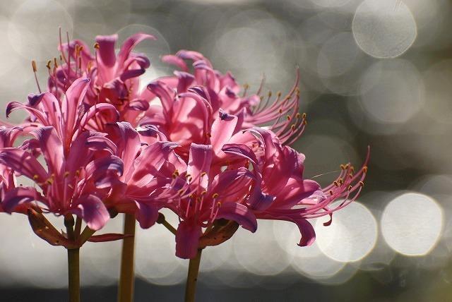 ピンクのリコリス2