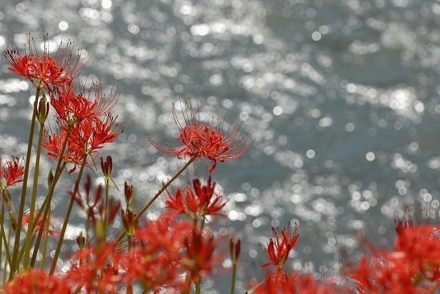 水辺の彼岸花3