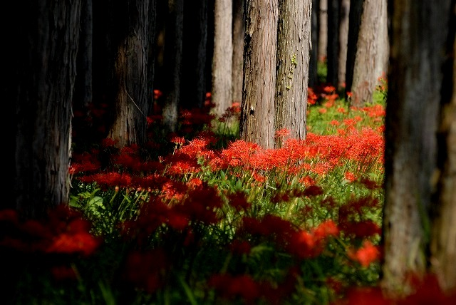桧林の彼岸花1