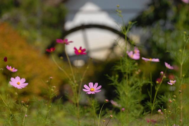 加茂川のコスモス1
