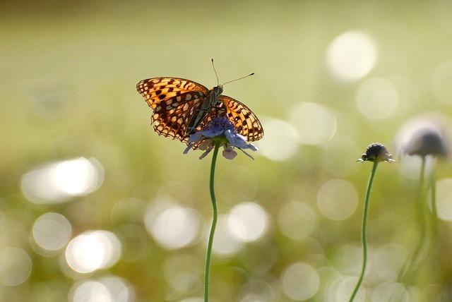 マツムシソウと蝶3