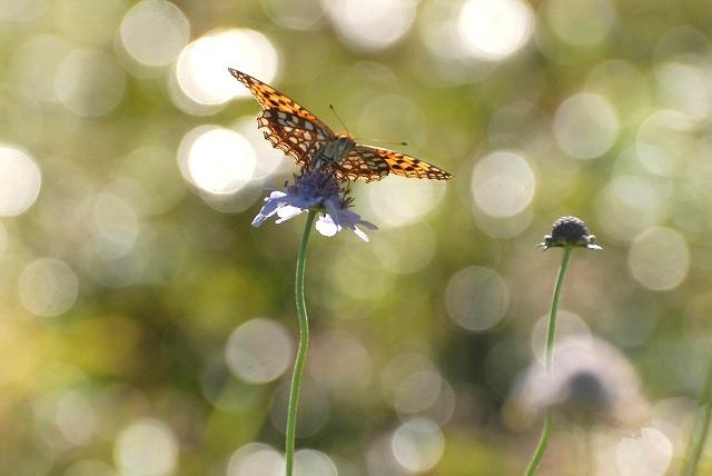マツムシソウと蝶4