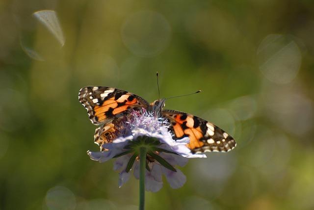 マツムシソウと蝶5
