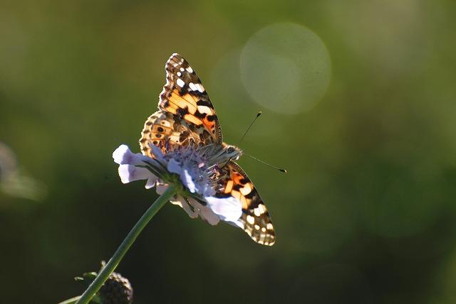 マツムシソウと蝶7