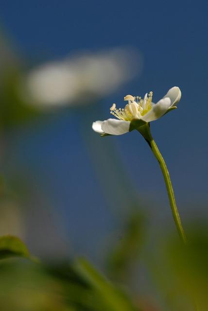 ウメバチ草4