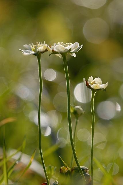 ウメバチ草6