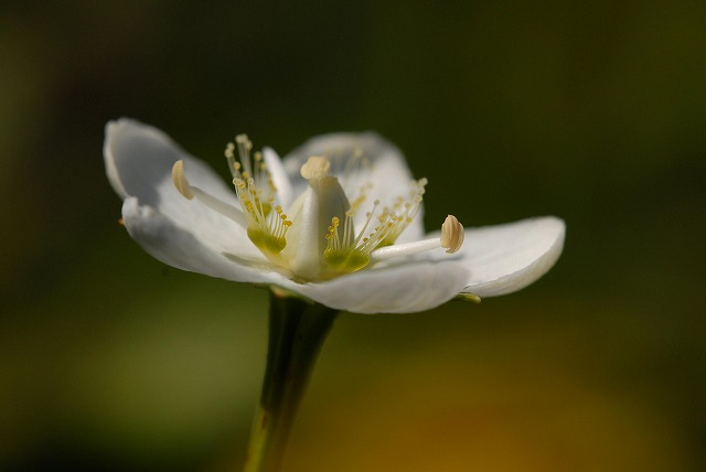 ウメバチ草9