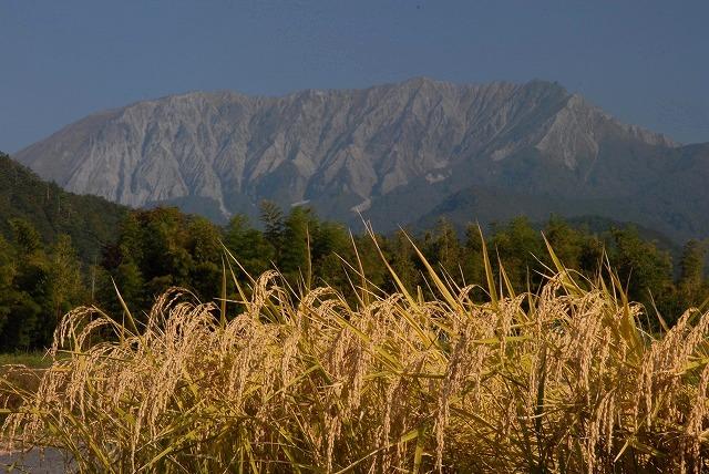 稲穂と大山