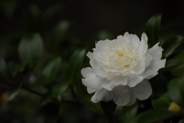 白い山茶花1