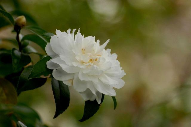 白い山茶花2