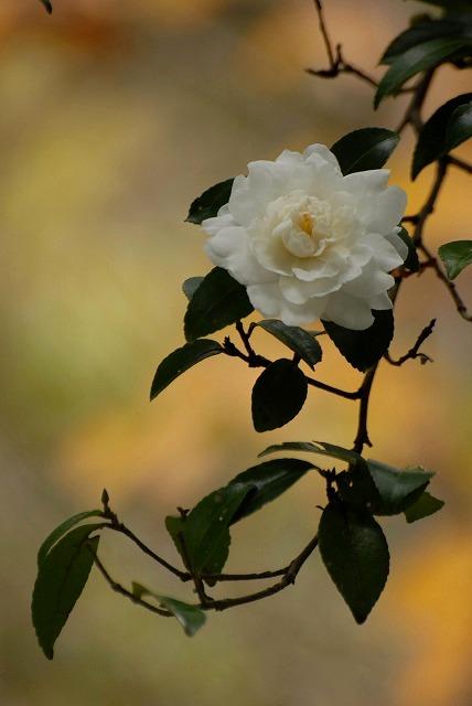 白い山茶花4
