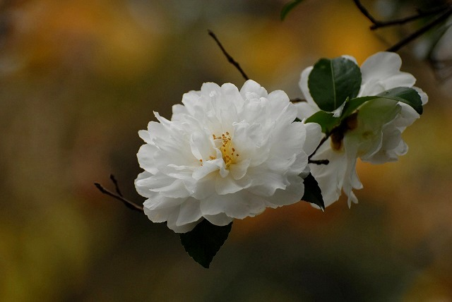 白い山茶花5