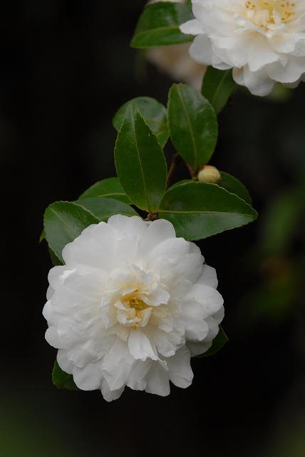 白い山茶花6