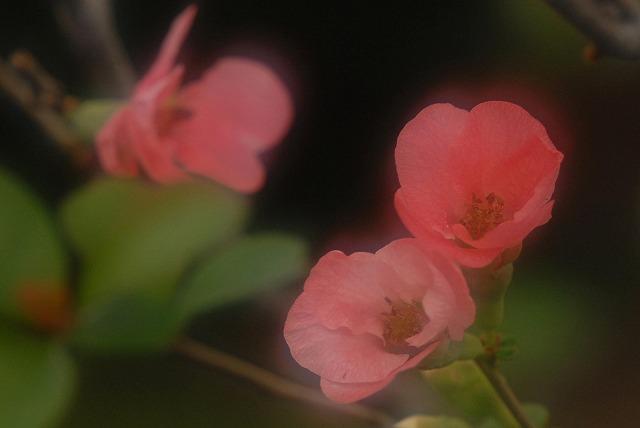 ボケの花4
