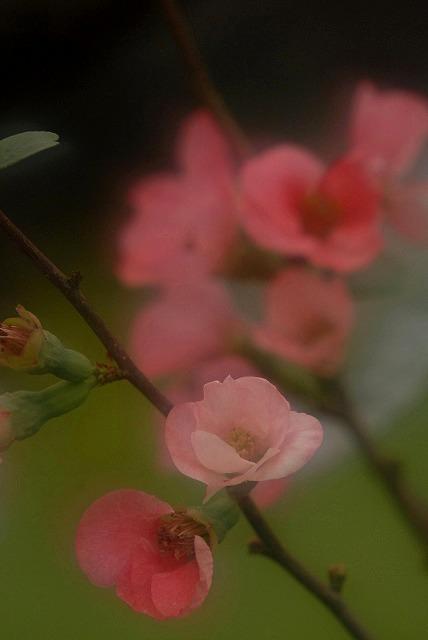 ボケの花6