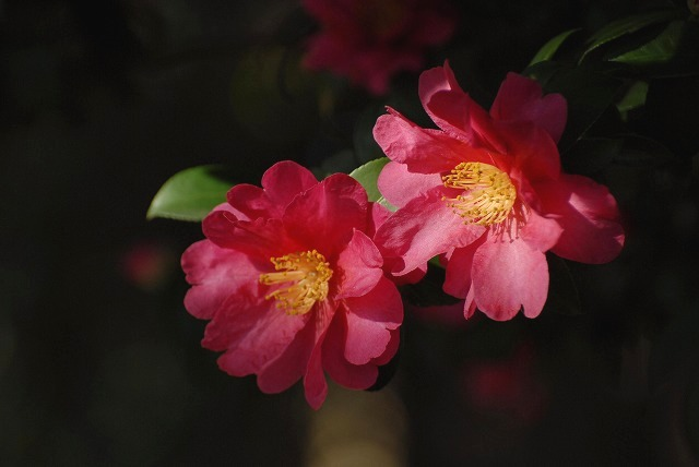 赤い山茶花2