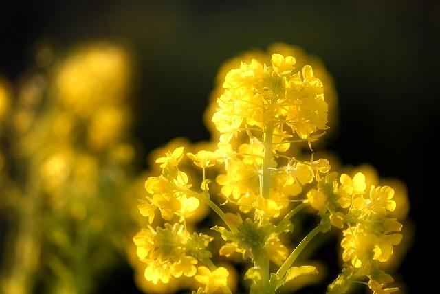 菜の花2-2